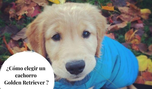 Cómo elegir un cachorro Golden Retriever