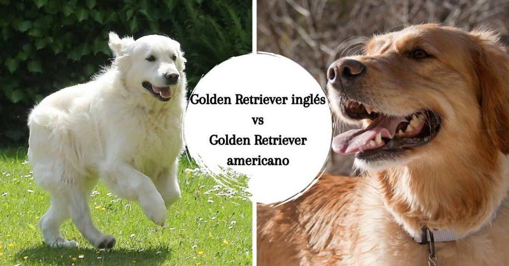 Golden Retriever inglés y americano