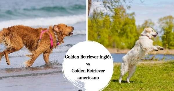 Similitudes entre el Golden Retriever inglés y el americano