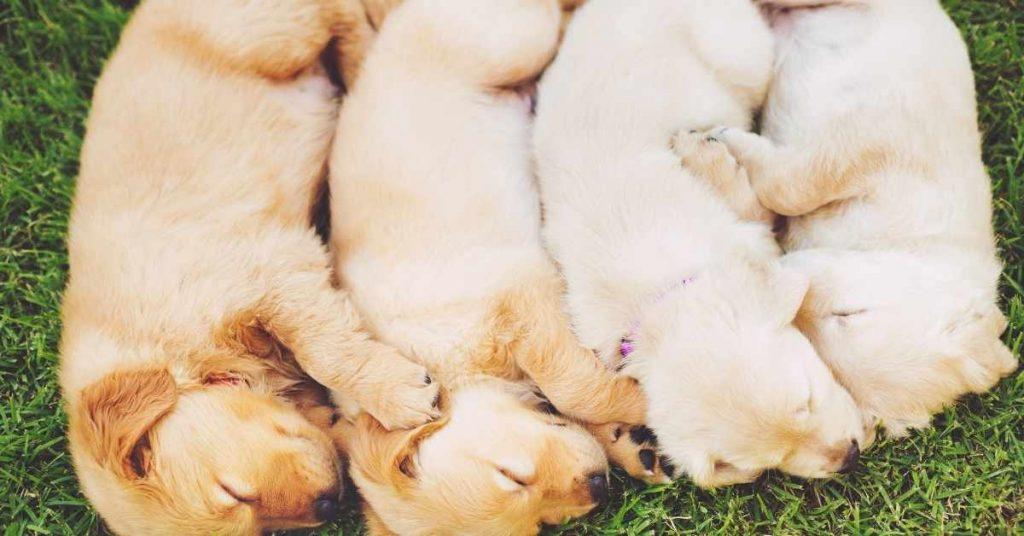 criador de cachorros Golden Retriever