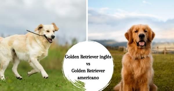 Diferencias entre el Golden Retriever inglés y el americano
