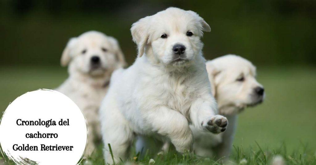 cachorros de golden